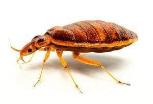 bed bug on plain background